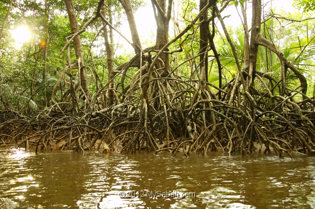 Bongawan Malaysia  city photos : Mangrove forest of Bongawan, Sabah, Malaysia