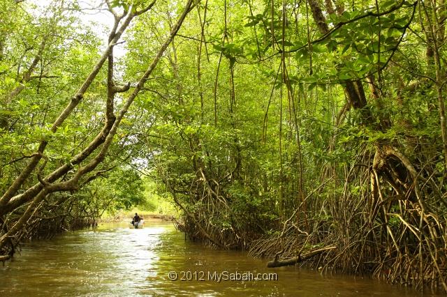 Bongawan Malaysia  city photo : Mangrove forest of Bongawan, Sabah, Malaysia