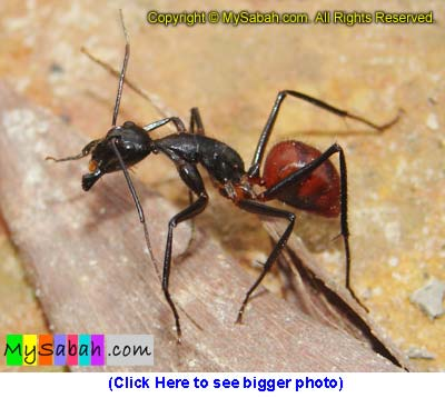 Giant ant of Sabah Borneo