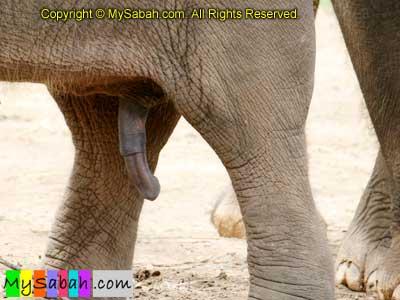 Biggest Mammal Penis 57