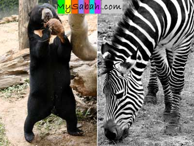 Sun Bear and Zebra