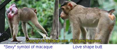 Sexy pig-tailed macaques