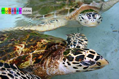 Hawsbill and Green Turtles