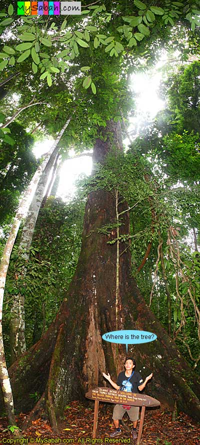 Tallest tropical tree in the world