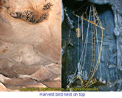 Harvesting tool for bird nest