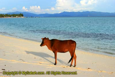 Cow on Mantanani Besar Island