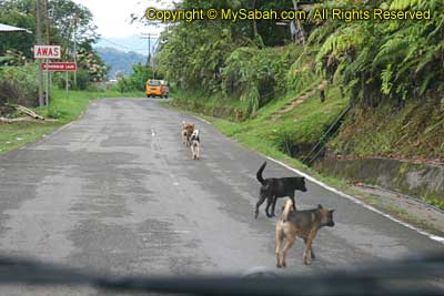 Village dogs in Kiau