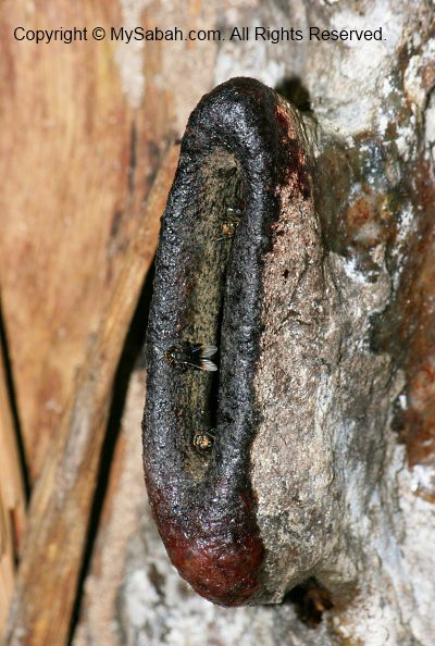 Stingless Bee nest