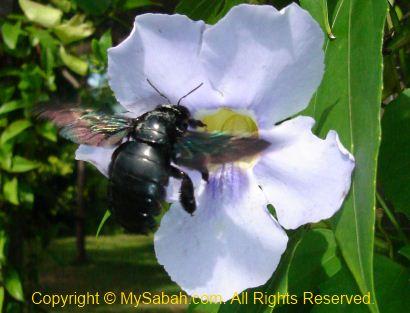 Big black bee