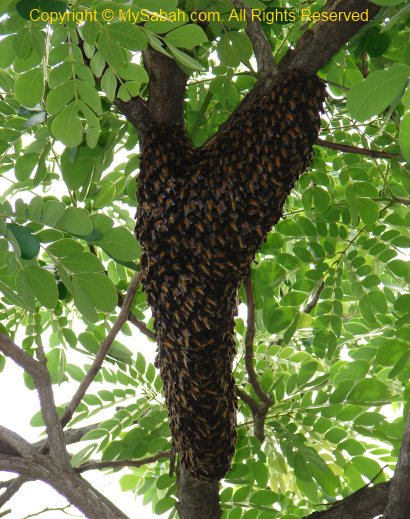 Swarm of wild honey bees on tree