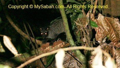 civet in night safari