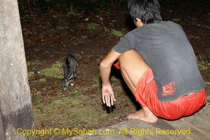 feeding the Malay Civet