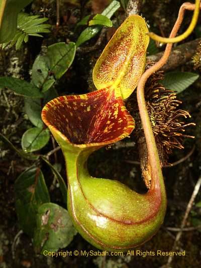 Nepenthes lowii of Mt. Trusmadi