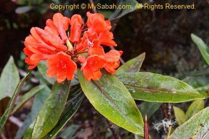 Rhododendron of Mt. Trusmadi