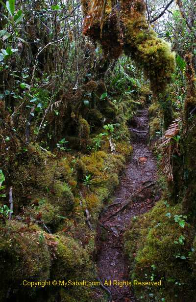 Mossy forest of Mt. Trus Madi
