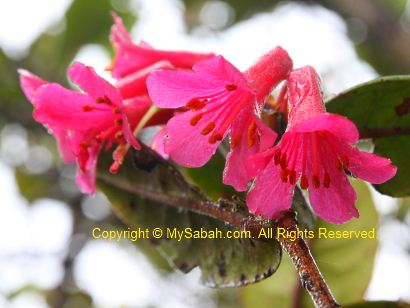 Rhododendron of Mt. Trus Madi