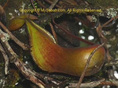 Nepenthes xTrusmadiensis of Mt. Trus Madi