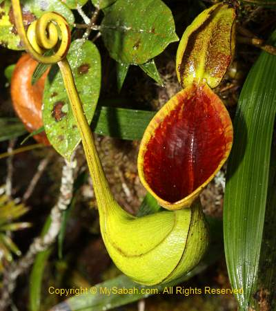 Nepenthes lowii of Mt. Trus Madi
