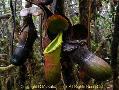 Nepenthes macrophylla of Mt. Trus Madi