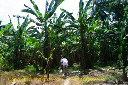 Cycling in banana plantation of Kota Belud