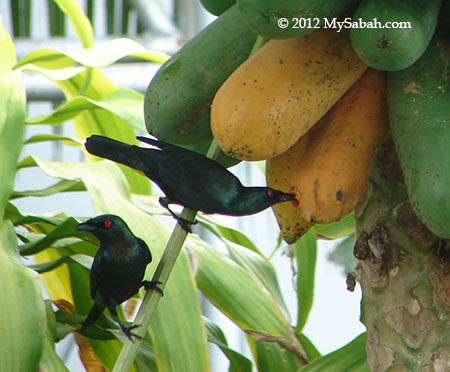 Asian Glossy Starling eating fruit