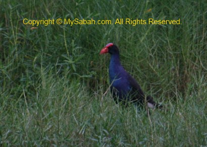 Black-backed Swamphen