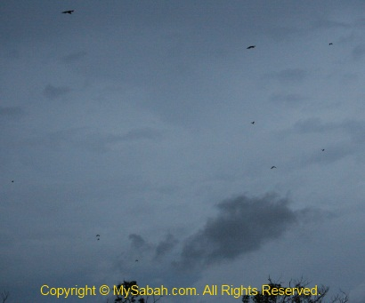 Flock of flying fox in Klias-Garama rivers
