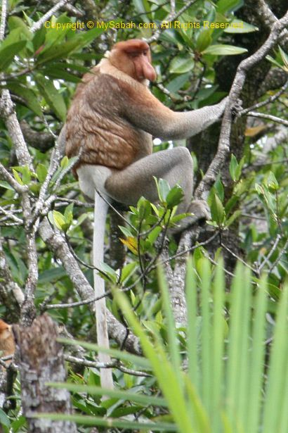 male long-nosed monkey