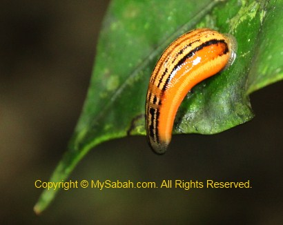 sleeping tiger leech