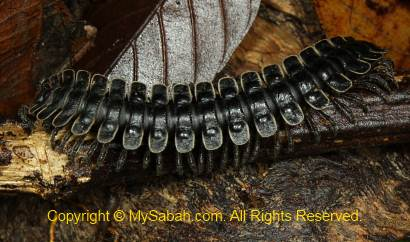 sleeping millipede