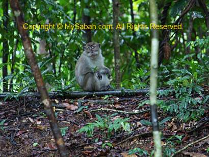 alpha male long-tailed macaque