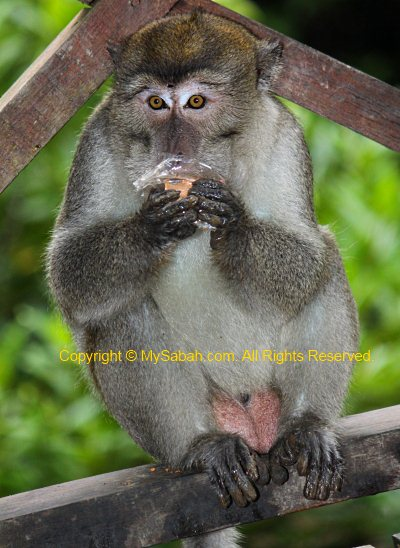 long-tailed macaque eating biscuit