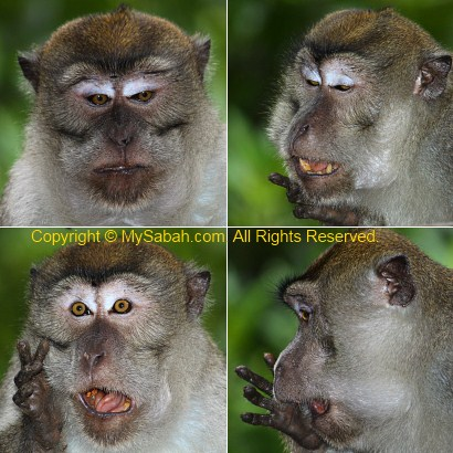 funny expression of long-tailed macaque