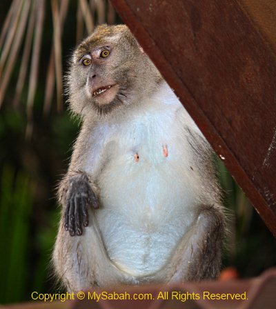 female long-tailed macaque