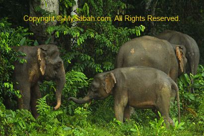Family of pygmy elephants
