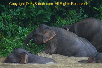 pygmy elephants taking bath in river