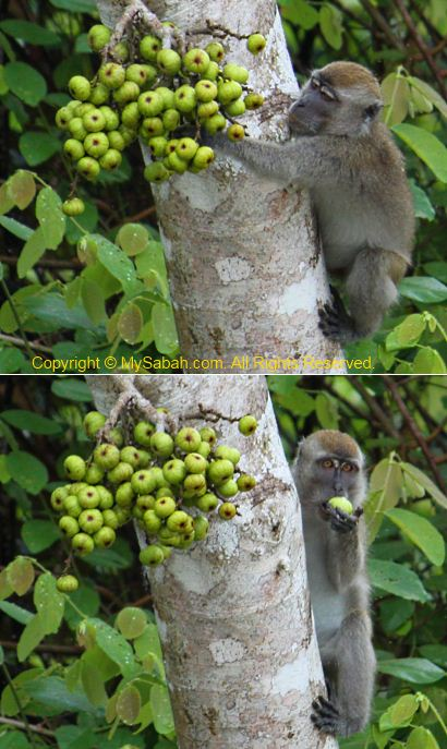 Monkey eating fig fruit