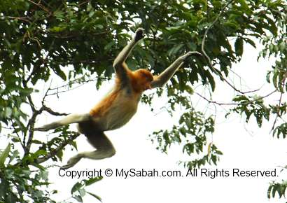 Hopping long-nosed monkey