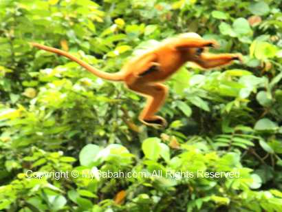 Jumping red-leaf monkey