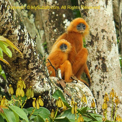 red-leaf monkey