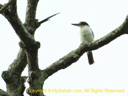 white-collared kingfisher