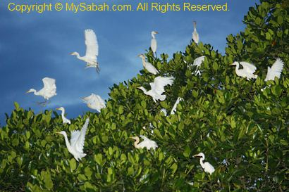 egrets on mangrove tree