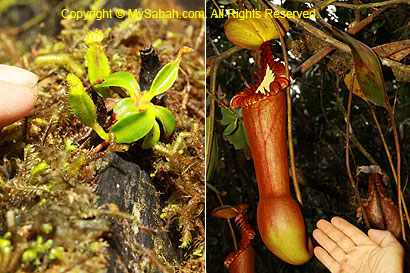 Tiny and huge pitcher plant