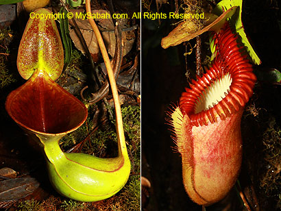 Nepenthes lowii and villosa