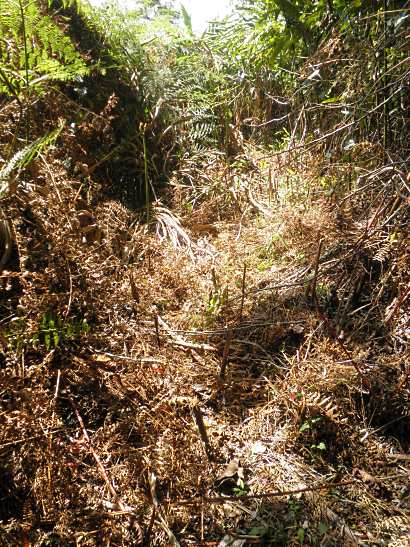 poorly-maintained pine trail