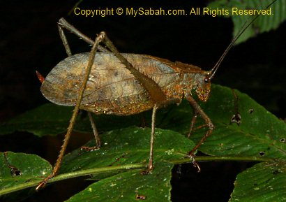 leaf cricket