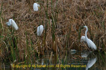 great egrets in Likas Lagoon