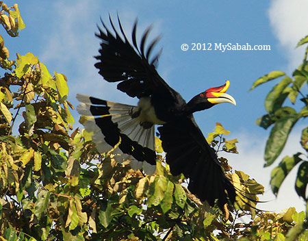 Rhinocerous hornbill in flight