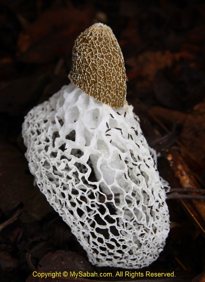 Long net stinkhorn
