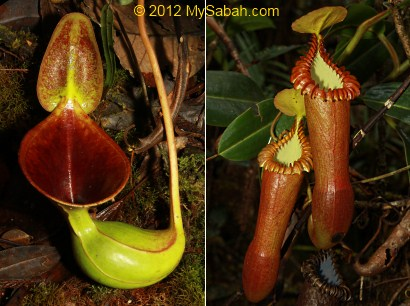 endemic pitcher plant of Sabah